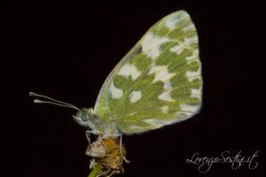 Macro Farfalla