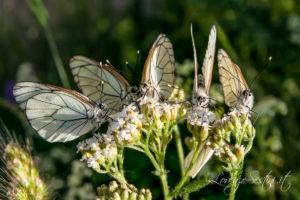 Macro Farfalle