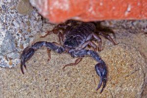 Macro Scorpione